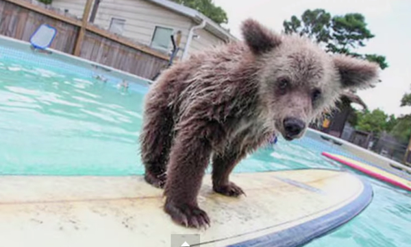 Surfing Bear Cub