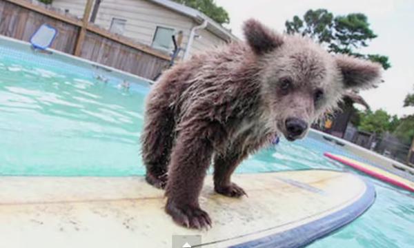 Surfing Bear Cub
